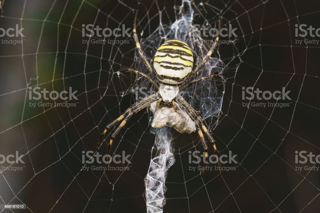 Argiope Bruennichi, or spider-wasp — view araneomorph spiders of the family of Orb-web spiders (lat. Araneidae) - prey stock photo