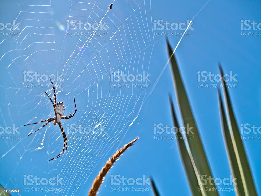 Argiope lobata in spiderwebspiderweb stock photo