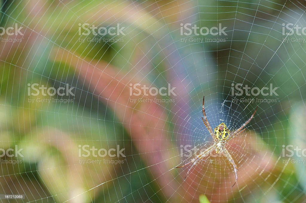 Argiope spider in afternoon sun at Bali, Indonesia royalty-free stock photo