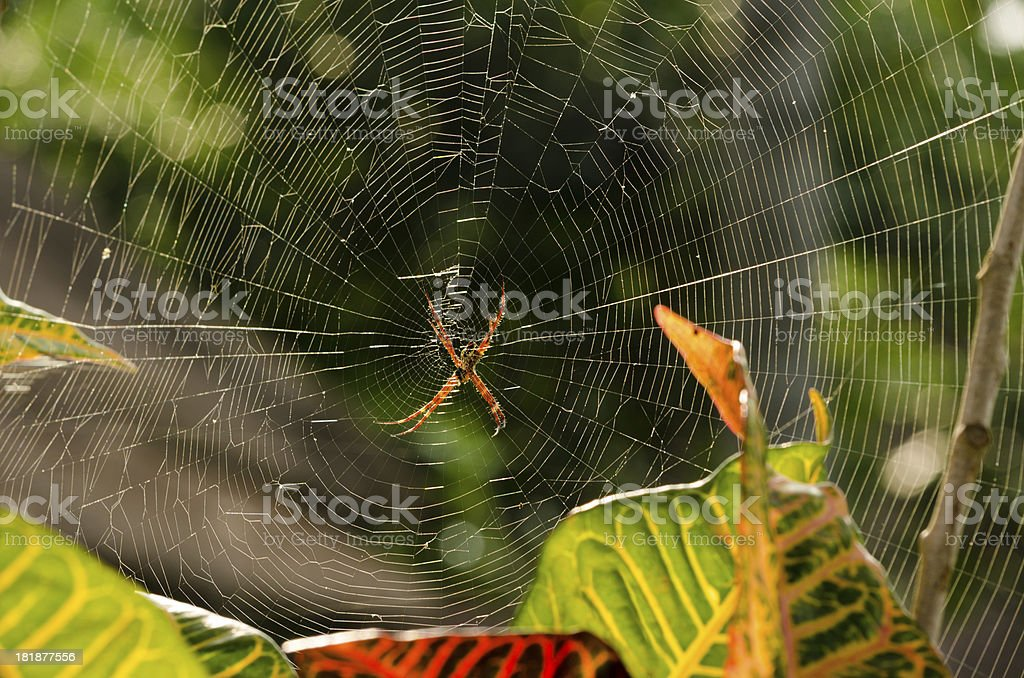 Argiope spider in afternoon sun stock photo