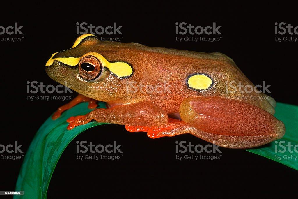 Argus reed frog stock photo