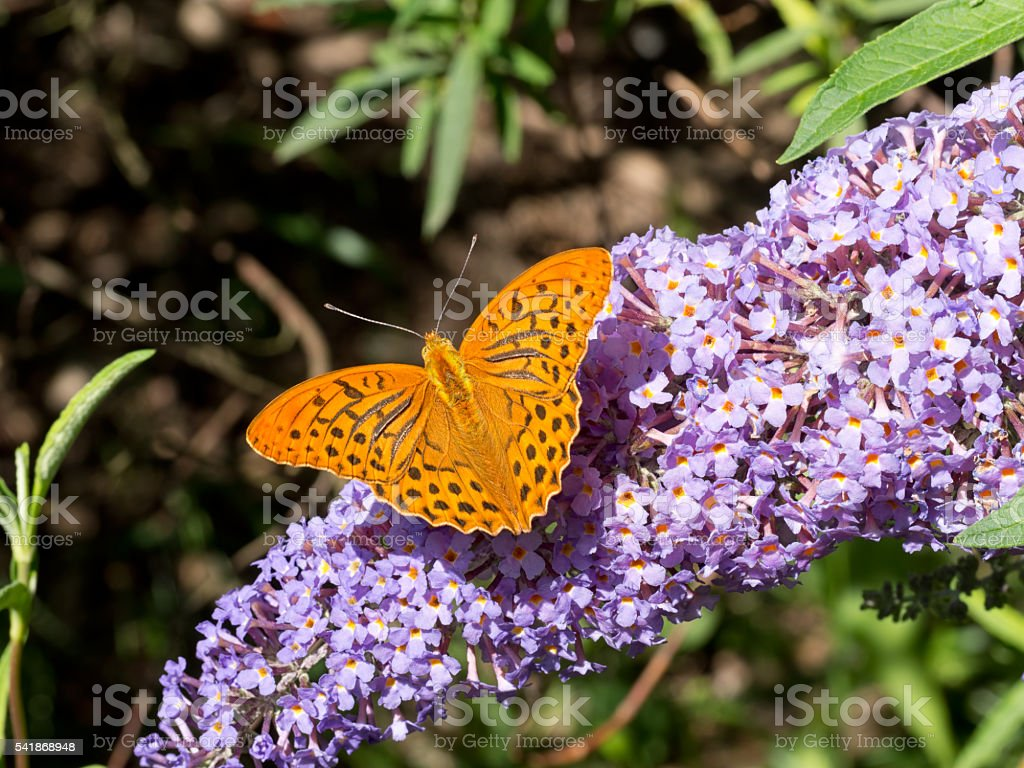 Argynnis paphia, male. On purple buddleia flowers. stock photo