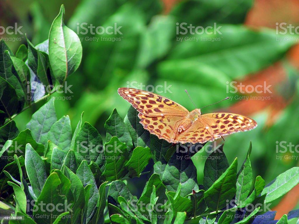 Argynnis paphia Silver-washed fritillary stock photo