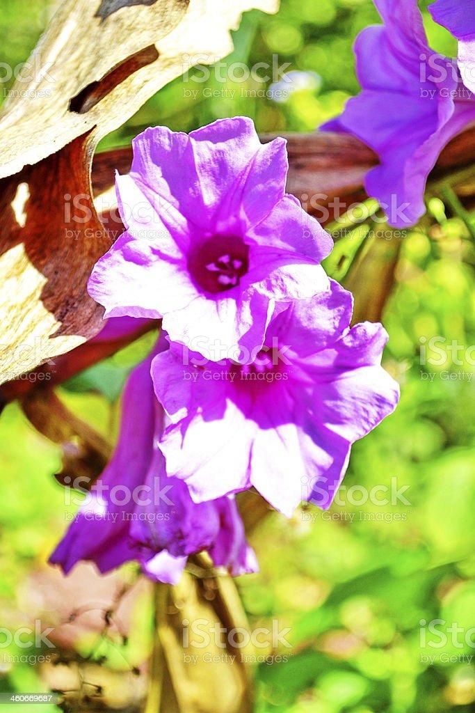 Argyreia splendens stock photo