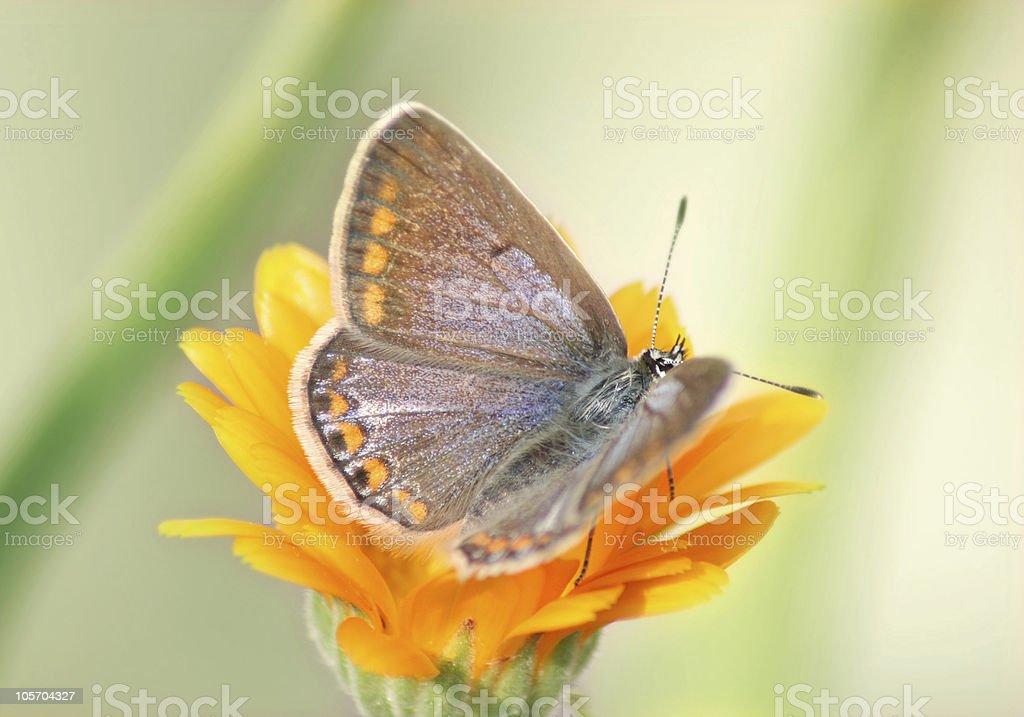 Aricia agestis royalty-free stock photo