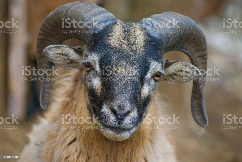 Aries - Widderbock, Steinbock stock photo