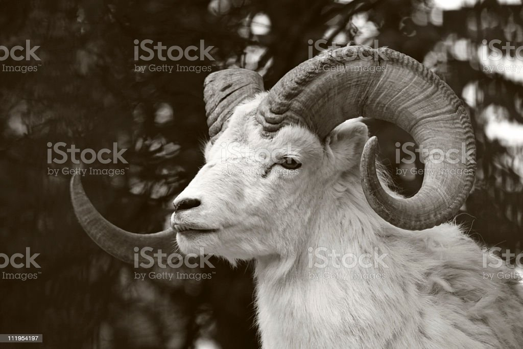 aries stock photo