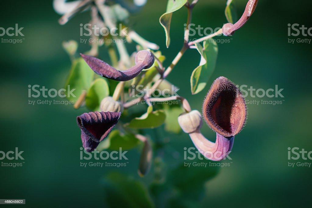 Aristolochia Baetica stock photo