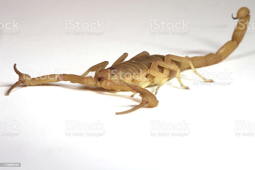 Arizona Corteccia Scorpione foto stock royalty-free