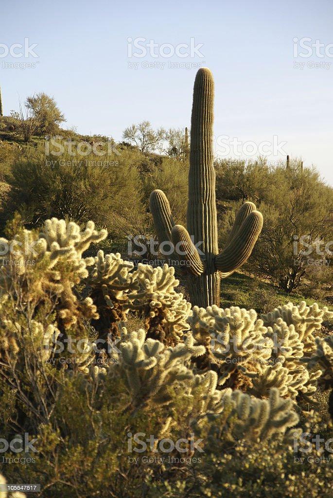Arizona. Cacti field in Vulture mountains near Wickenburg royalty-free stock photo