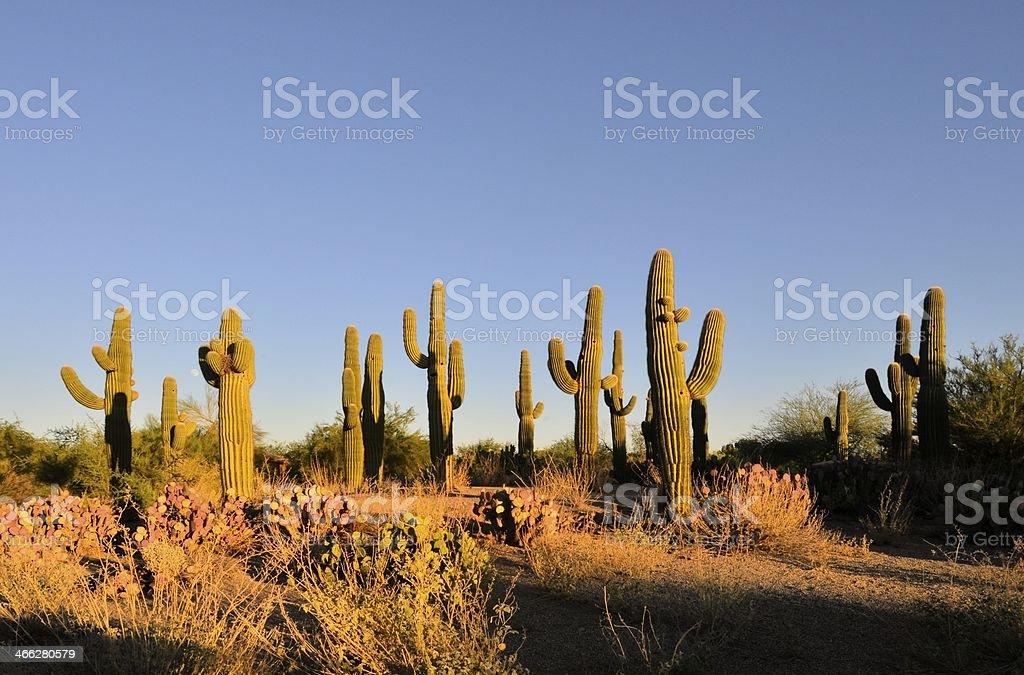 Arizona Cactus At Dawn stock photo