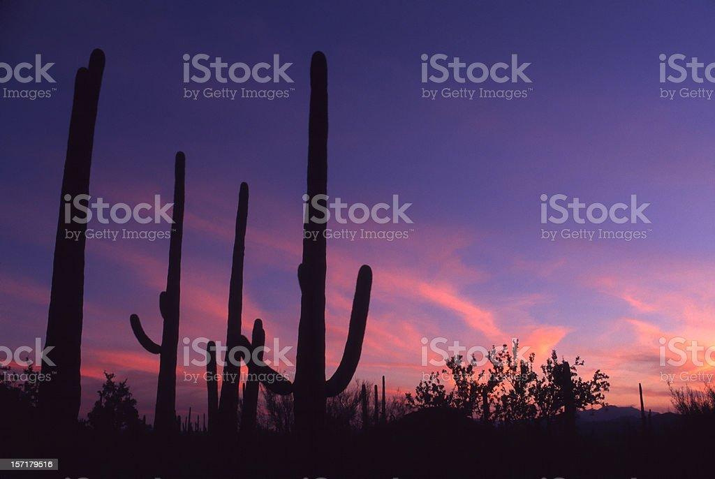 Arizona - cactus at sunset royalty-free stock photo