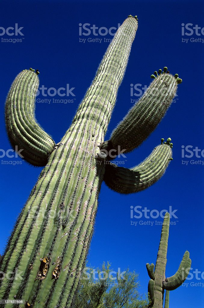 Arizona Cactus royalty-free stock photo