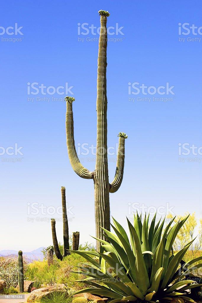 Arizona Cactus royalty-free stock photo