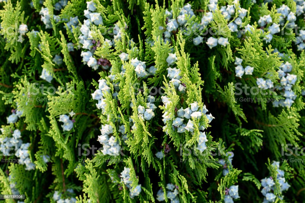 Arizona cypress tree background stock photo