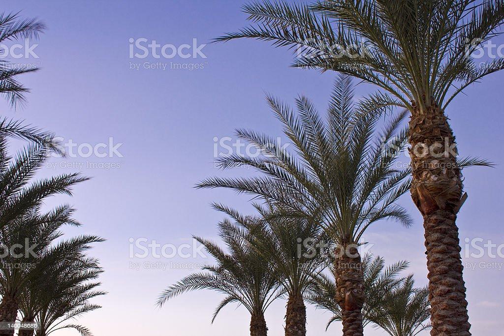 Arizona Date Palms stock photo