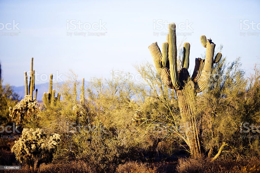 Arizona Desert Cactus Sagauro stock photo