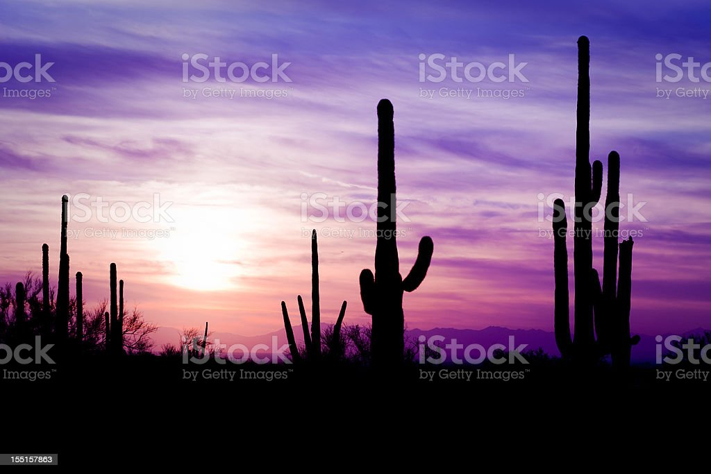 Arizona Desert Cactus Sagauro Winter Sunset stock photo
