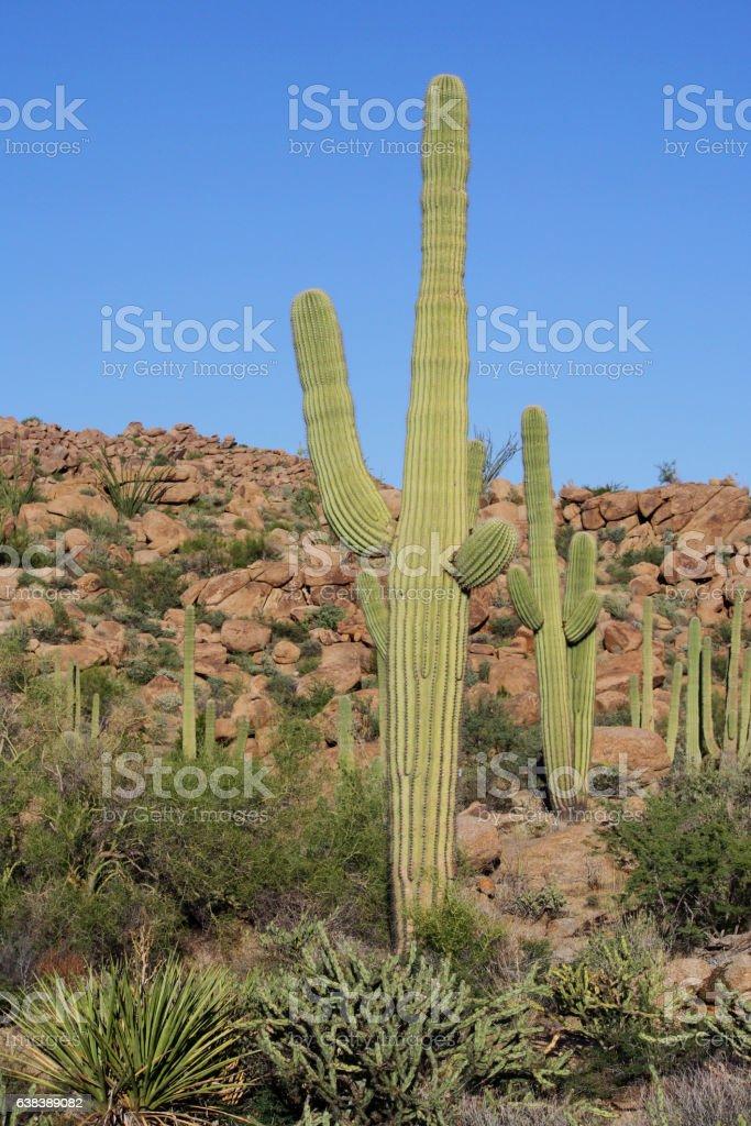Arizona desert sahuaros cactus boulders stock photo