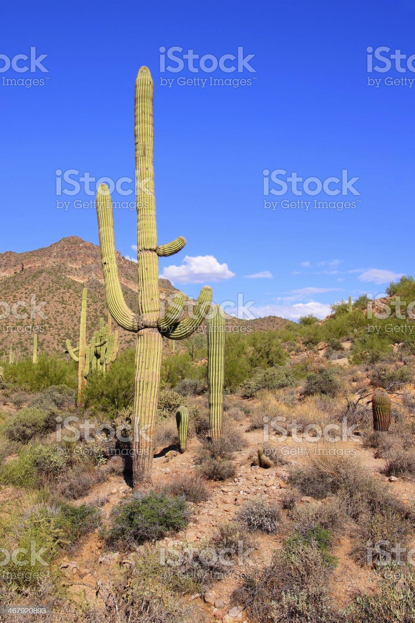 Arizona desert view with giant saguaro cactus royalty-free stock photo