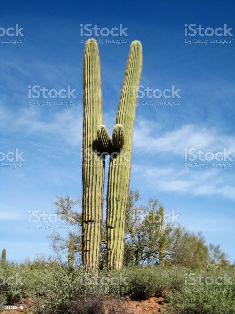Arizona double saguaros desert scrub stock photo