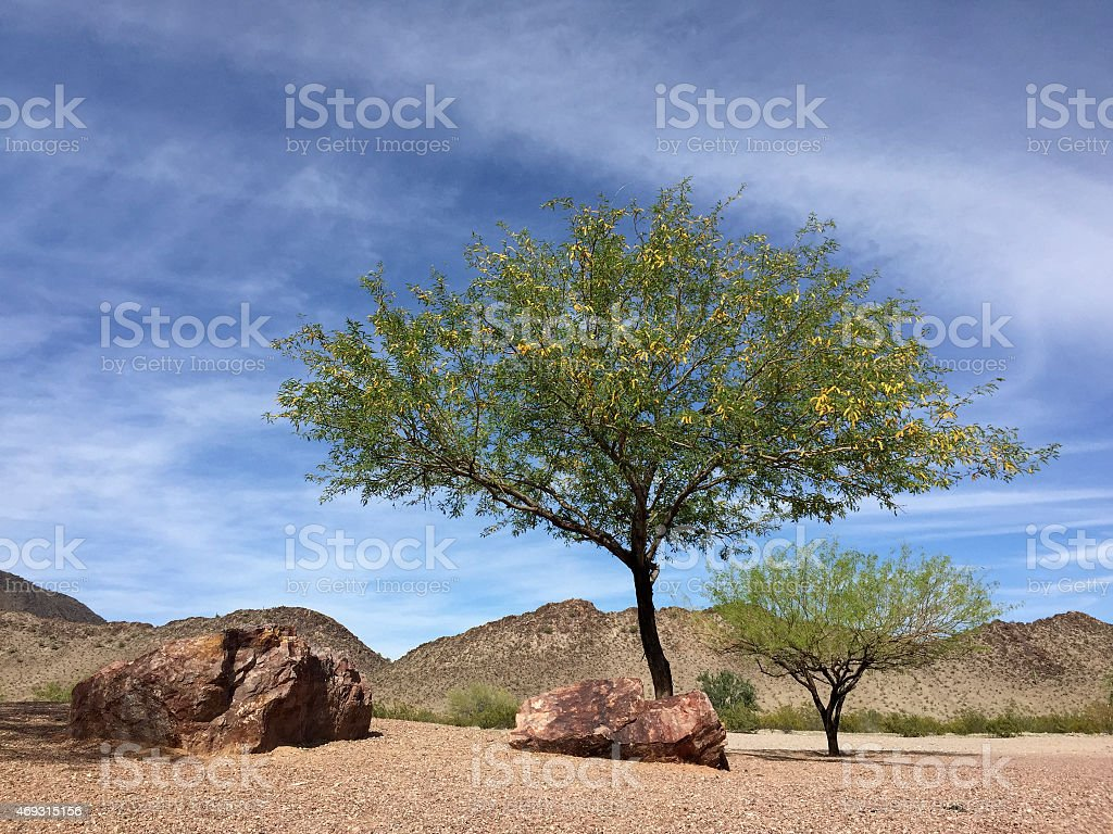 Arizona Mesquite trees in desert backyard stock photo