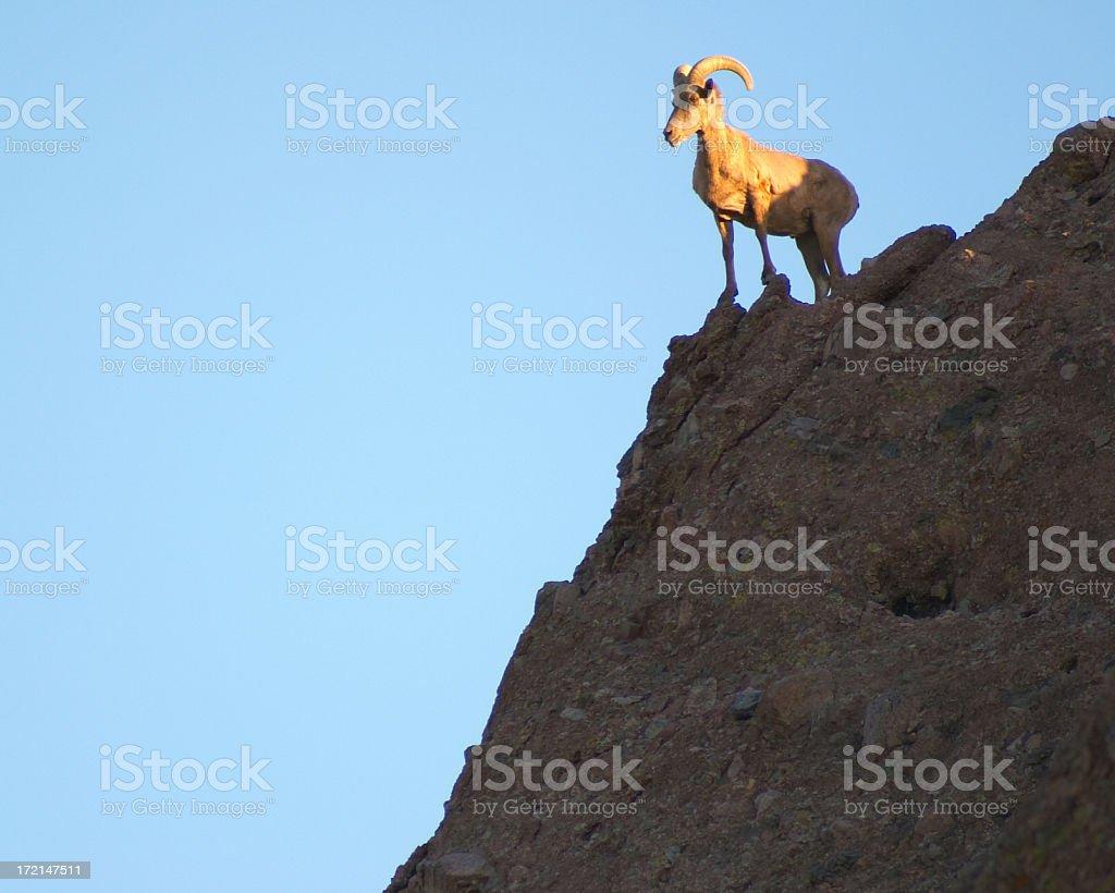 Arizona Mountain Sheep royalty-free stock photo