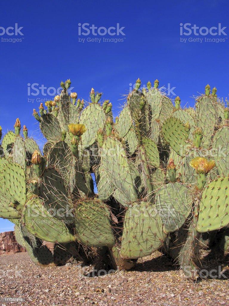 Arizona Nopal Cactus royalty-free stock photo