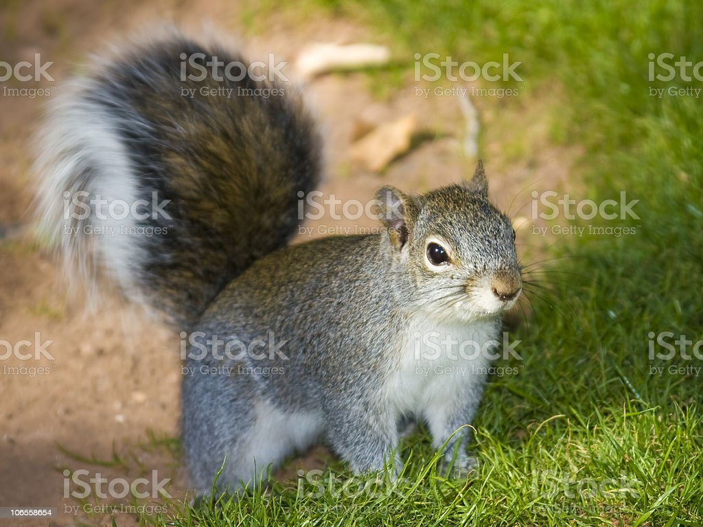 Arizona Red Squirrel stock photo