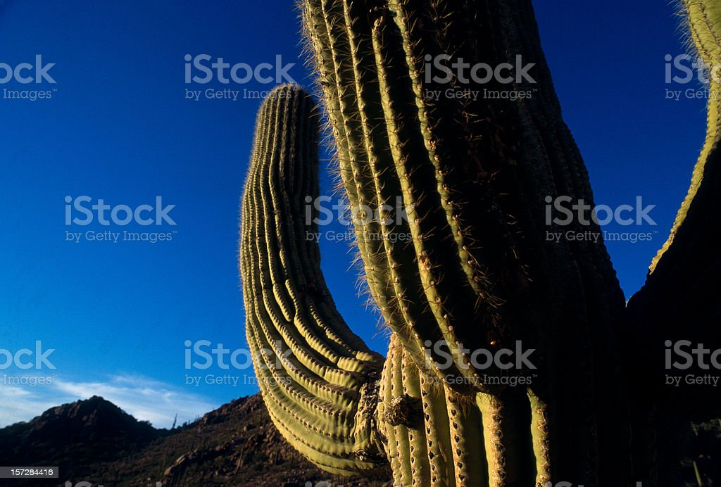 Arizona - Saguaro cactus at dusk royalty-free stock photo