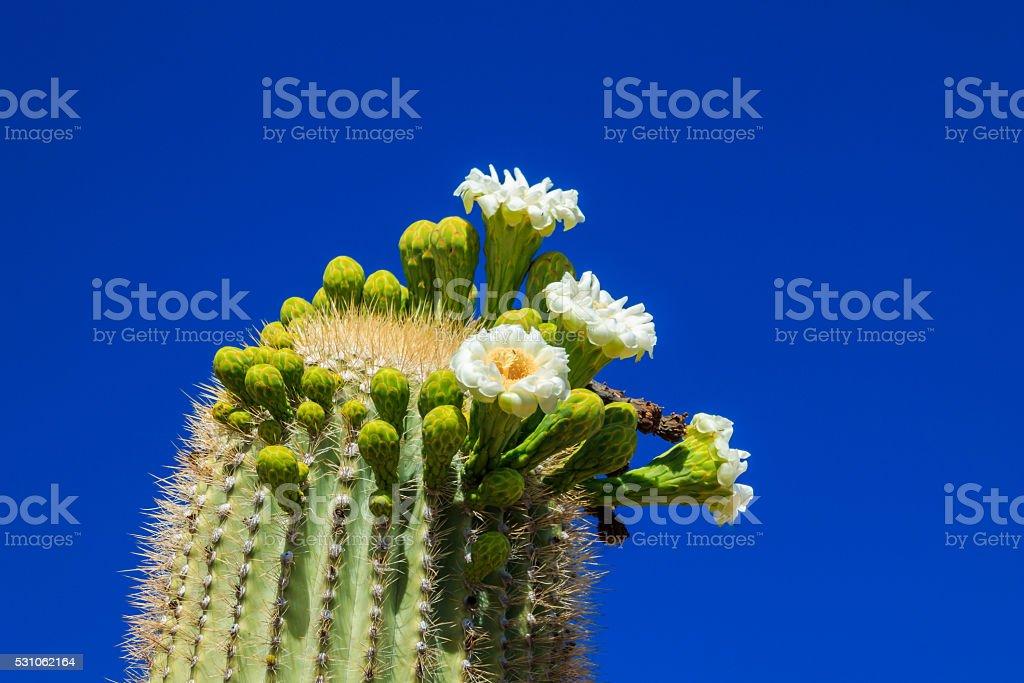 Arizona Saguaro Cactus in Bloom stock photo