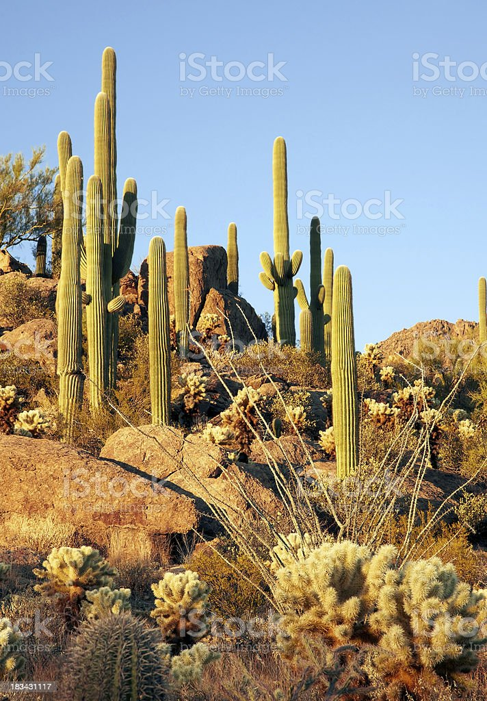 Arizona Saguaro Cactus on Rocky, Desert Hillside royalty-free stock photo