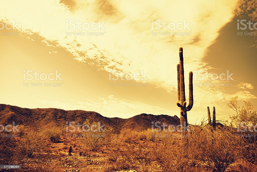 Arizona saguaro cactus stock photo