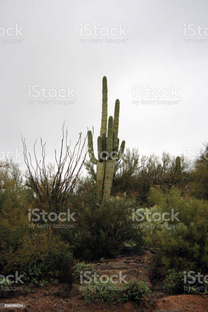 Arizona saguaros desert cactus scrub foggy day stock photo