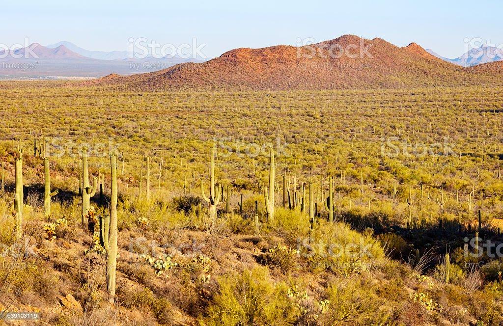 Arizona Sonoran Desert and Saguaro Cactus stock photo