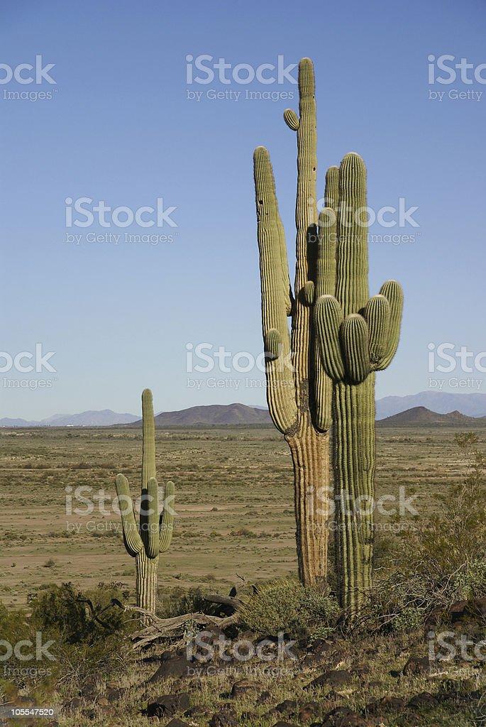 Arizona, Sonoran desert, Saguaro cacti royalty-free stock photo