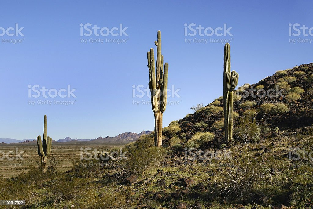 Arizona. Sonoran desert. Saguaro cacti royalty-free stock photo
