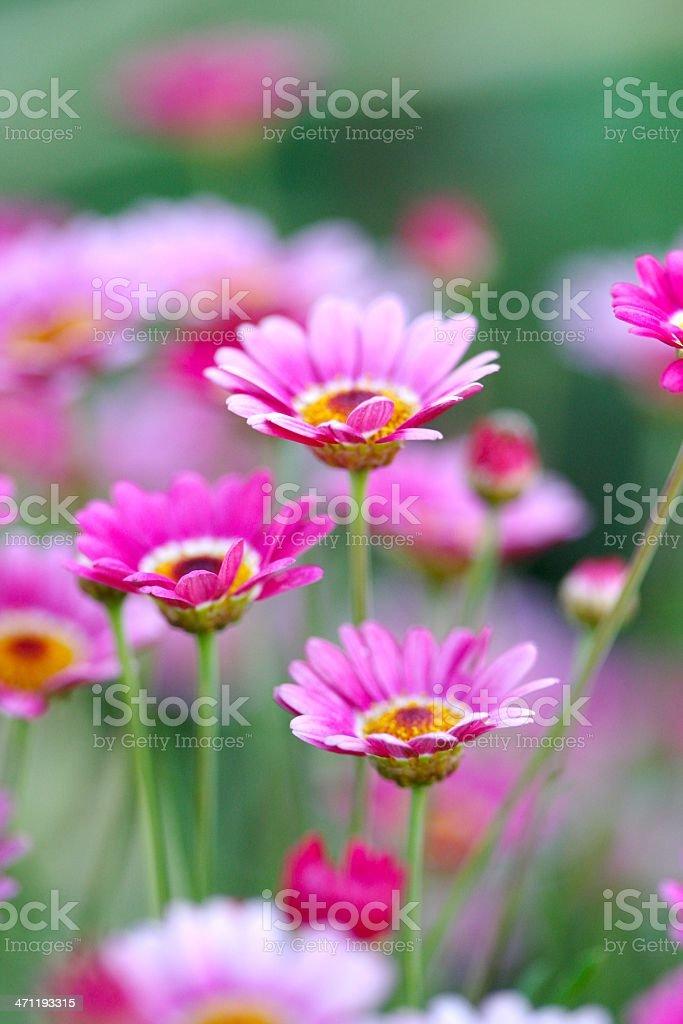 Fiori di primavera in Arizona foto stock royalty-free