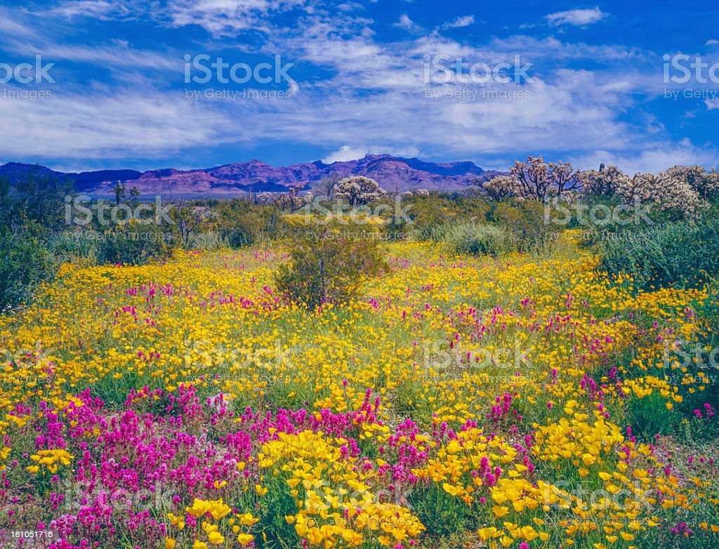 Arizona spring wildflowers stock photo