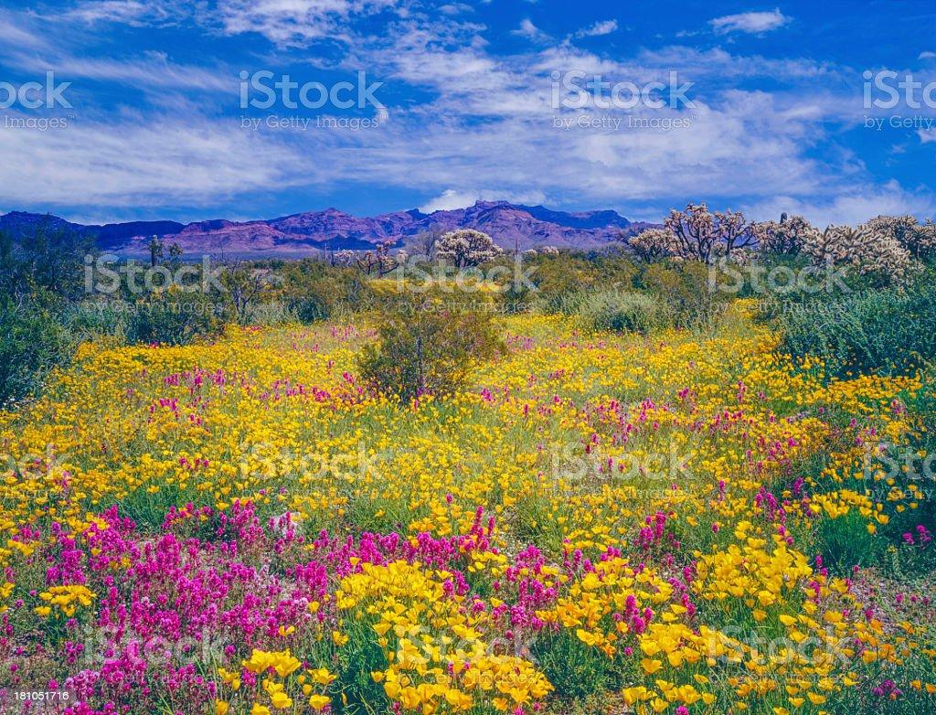 Arizona spring wildflowers stock photo