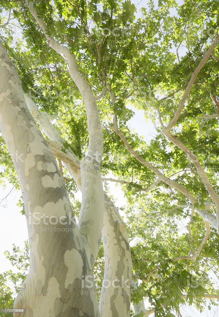 Arizona Sycamore stock photo