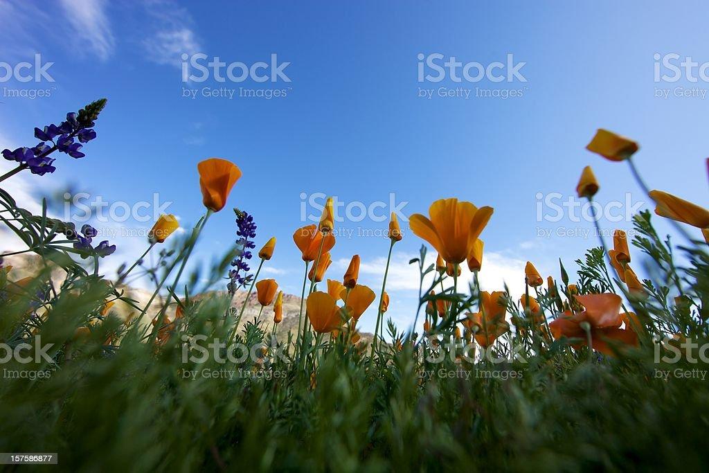 Arizona fiori selvatici bassa prospettiva foto stock royalty-free