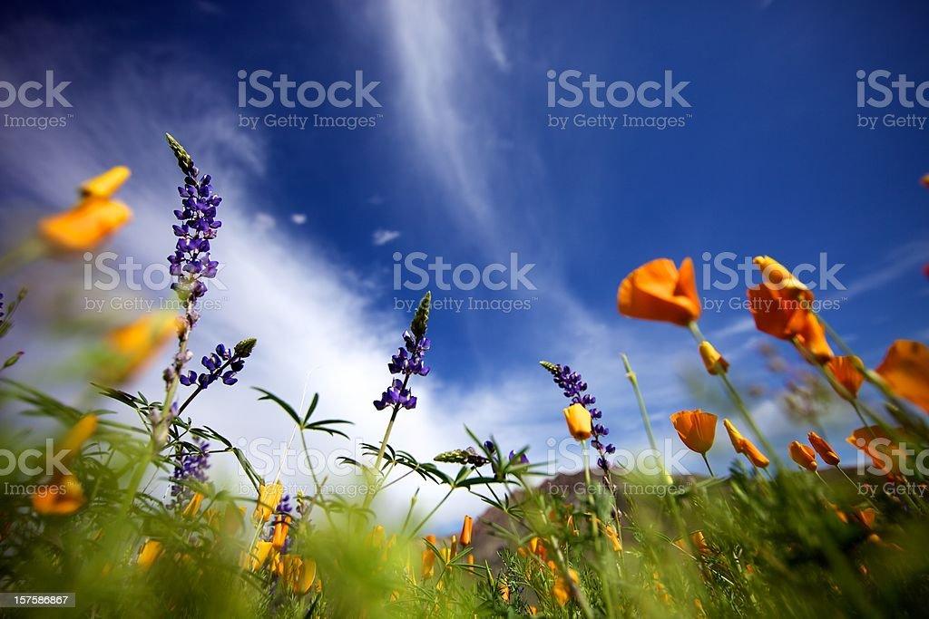 Arizona Wildflowers royalty-free stock photo