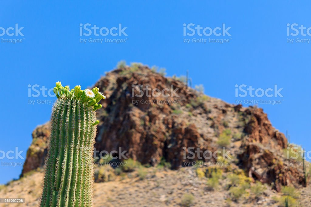 Arizonan Saguaro Cactus in Bloom stock photo