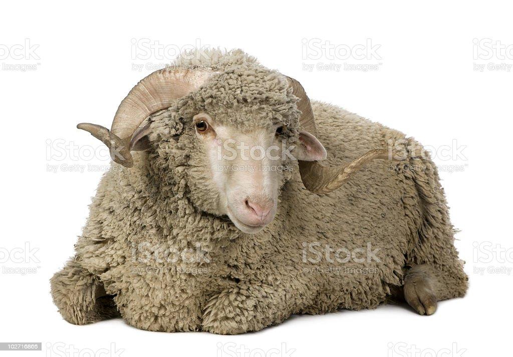 Arles Merino sheep, ram, lying down. royalty-free stock photo