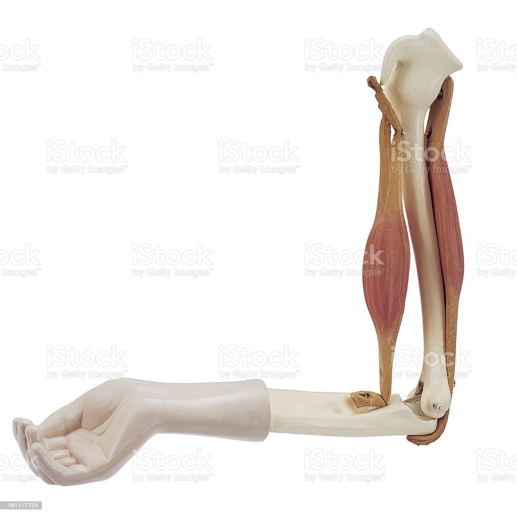arm muscle royalty-free stock photo