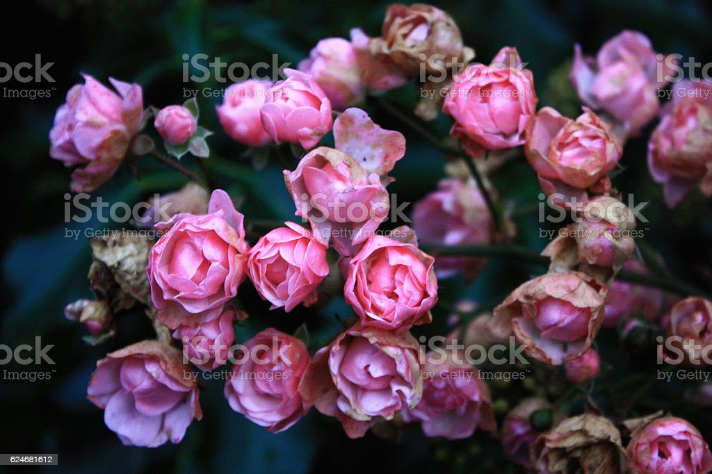 Arm of Roses stock photo