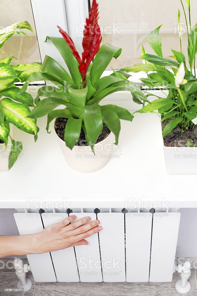 Arm put on  heating white radiator.Windowsill with flowers. stock photo