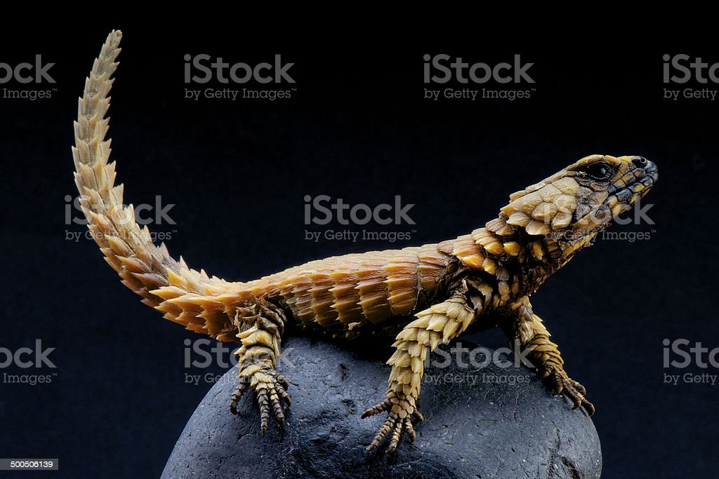 Armadillo lizard / Ouroborus cataphractus stock photo