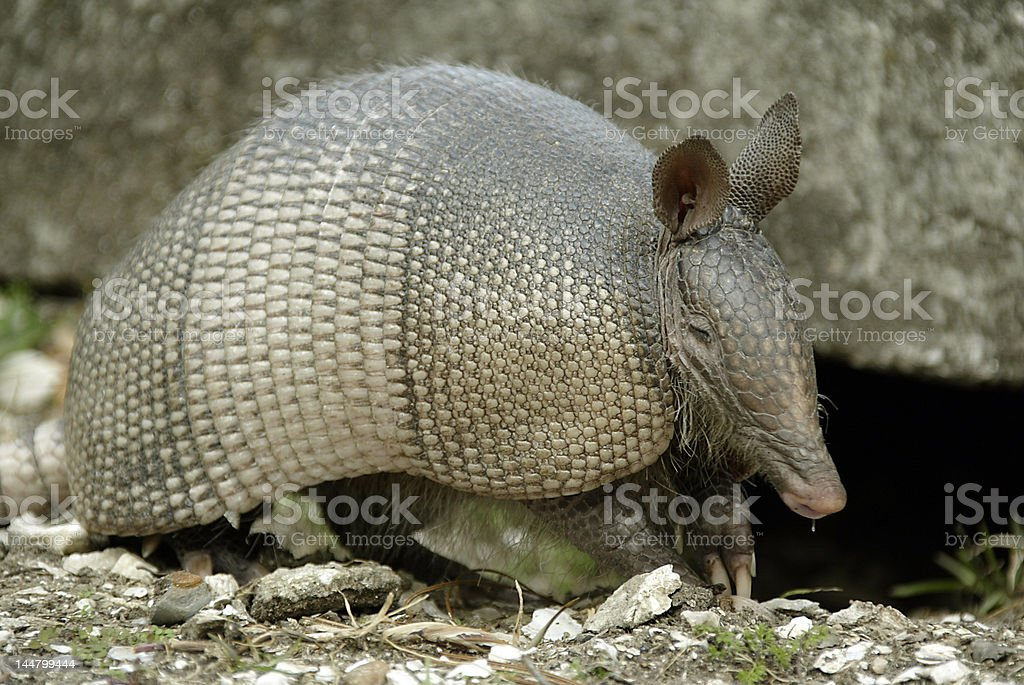 Armadillo royalty-free stock photo